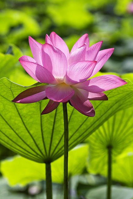 startwithaseed:  A lotus is practically the most perfect flower.