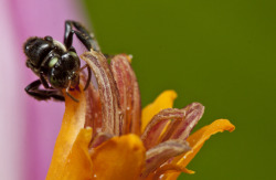 fuckyeahitsmacro:  small black bee on a banana flower