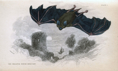 rhamphotheca:  Greater Horseshoe Bat (Rhinolophus ferrumequinum) from unknown source (ca. 1840)