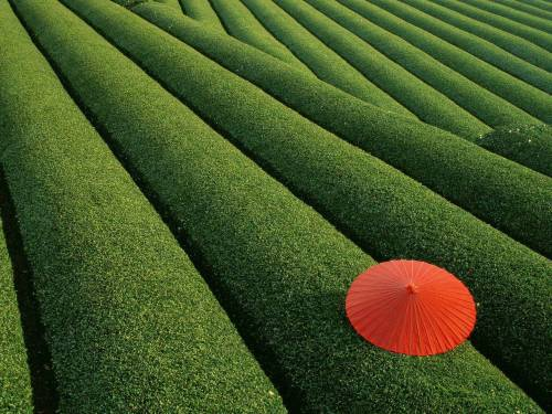 boogiesbc:  Japanese Tea Field