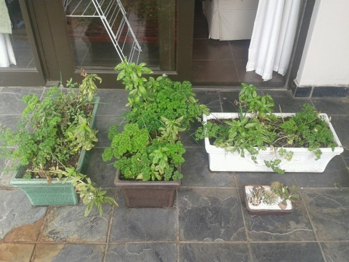 shortandsharp:  Um, I think my herb gardens have got a little out of hand…