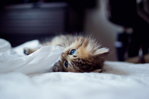 fluffy-kittens:  Daisy Prefers the Human's Bed by bentorode