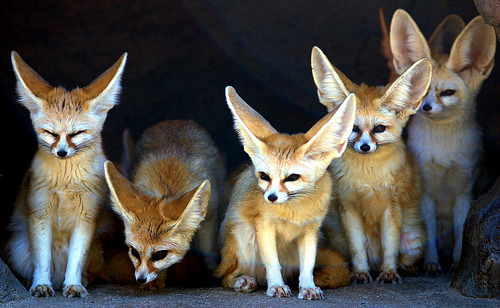 foxes-cauldron:  I'm sure you've seen pictures of these little guys before! Especially the kits (babies). They're a type of fox, called the 'fennec' fox. The smallest of the foxes, and of the canid world, the fennec fox is identified by its relatively huge ears, which serve to dissipate heat. They weight between 0.68 -1.6kg, and are approx 20cm (8 inches) tall. Fennec foxes are sociable animals which mate for life; each pair or family has its own territory. You can find these guys in the Sahara and in northern Saudi Arabia.