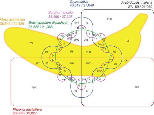 """Six-way Venn diagram showing the distribution of shared gene families (sequence clusters) among M. acuminata, P. dactylifera, Arabidopsis thaliana, Oryza sativa, Sorghum bicolor and Brachypodium distachyon genomes."" Via."