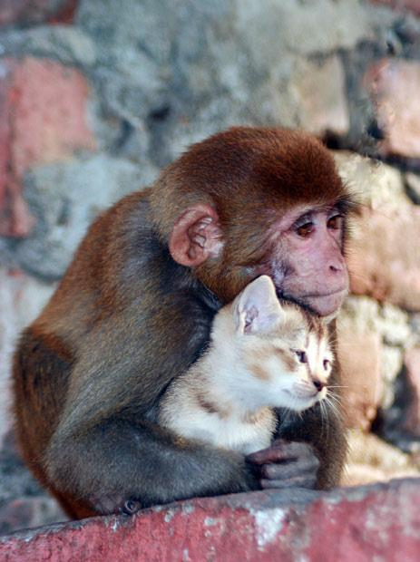 Just another monkey with their pet kitty. I love that they enjoy having kitties for pets :) I mean, how could anyone NOT? I'll tell you who, people with no hearts. People you can't trust! (of course, except for allergic people, but still, if they don't like cats, I'd still be careful if I were you.)