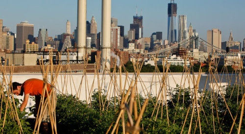 To Find Fields to Farm in New York City, Just Look Up Fed by the interest in locally grown produce, the new farm operations in New York are selling greens and other vegetables by the boxful to organically inclined residents, and by the bushel to supermarket chains like Whole Foods. The main difference between this century and previous ones is location: whether soil-based or hydroponic, in which vegetables are grown in water rather than soil, the new farms are spreading on rooftops, perhaps the last slice of untapped real estate in the city.  Read the full article here.