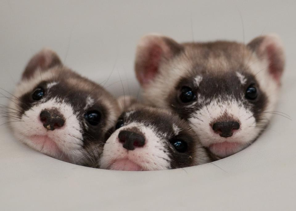 Ferrets. Stop that ferrets…. You're not that cute. Stop.