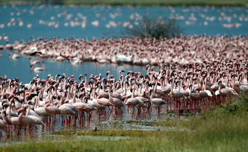 Rift Valley, Kenya: Flamingos on the shores of Lake Bogoria.  Photograph: Goran Tomasevic/Reuters