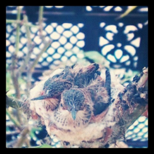 Boy, they are growing quickly! Amazing and super cute! #hummingbird  (Taken with Instagram)