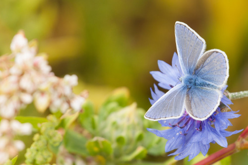 Commonblue (by Danny Keunen)