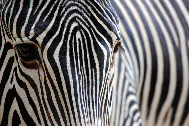 sdzoo:  Stripes by KerriNikolePhotography on Flickr.