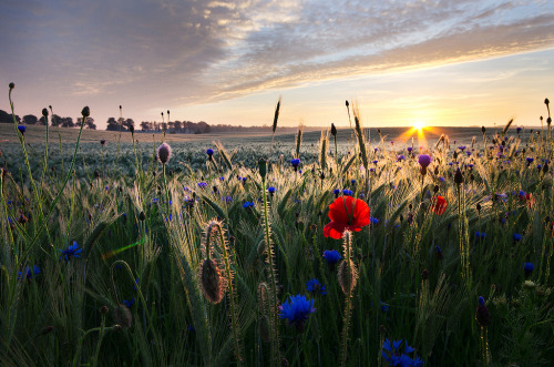 Wheat, poppies and cornflowers vol.1 (by wyrzykus)