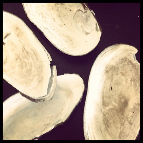 Fresh water mussel shells from our lake. They are sign of healthy ecosystem.  (Taken with Instagram)