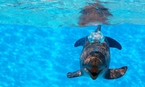 lovenature:  Dolphin Blowing Bubbles by David Alexander Elder