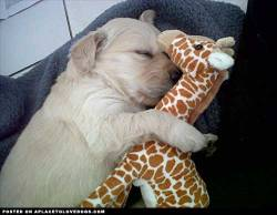 Submitted by Leigh N: Our new puppy, Aries LOVES her chew toy Mr Giraffe
