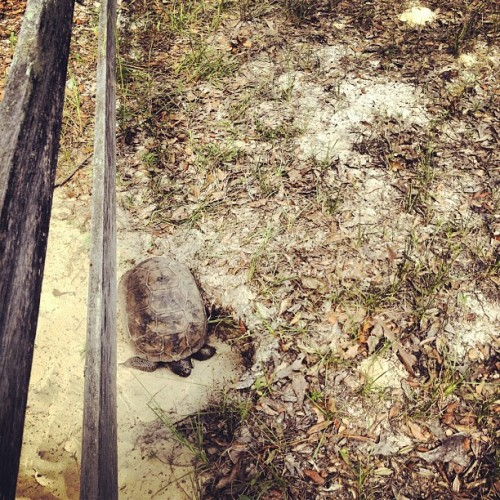 Gopher tortoise heading into its burrow (Taken with Instagram)