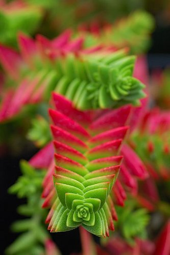 hot pink crassula capitella | via plant lust