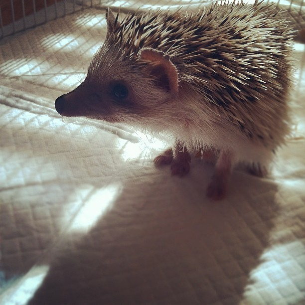 Bby exploring #hedgehog (Taken with Instagram)