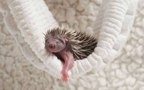drunkencoyote:  And I found a pic of a baby hedgehog in a hammock for your friend.  which friend? i want a fucking hedgehog. ::dies::