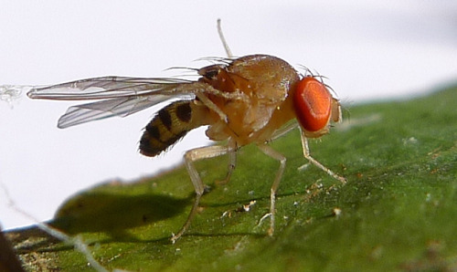 "Geneticists Evolve Fruit Flies With the Ability to Count  A team of geneticists has announced that they have successfully bred fruit flies with the capacity to count.  After repeatedly subjecting fruit flies to a stimulus designed to teach numerical skills, the evolutionary geneticists finally hit on a generation of flies that could count — it took 40 tries before the species' evolution occurred.  The findings, announced at the First Joint Congress on Evolutionary Biology in Canada, could lead to a better understanding of how we process numbers and the genetics behind dyscalculia — a learning disability that affects a person's ability to count and do basic arithmetic.  ""The obvious next step is to see how [the flies'] neuro-architecture has changed,"" said geneticist Tristan Long, of Canada's Wilfrid Laurier University, who admits far more research is needed to delve into what the results actually mean. Primarily, this will involve comparing the genetic make-up of an evolved fruit fly with that of a standard test fly to pinpoint the mutation."