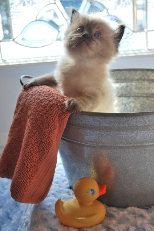 "catsbeaversandducks:  ""No! I refuse to bathe without my duckie and my Prada moisturizing shampoo!"" Photo via I ♥ Cats"