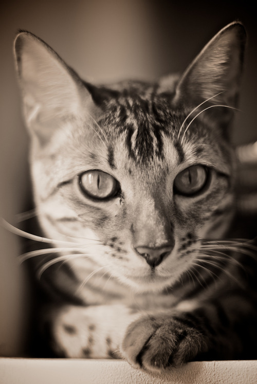 id-rather-be-free:  Czar, the bengal cat (by Soul_of_angel)