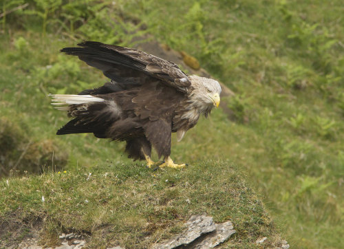 deviantbirds:  White-tailed Sea-eagle by *Jamie-MacArthur