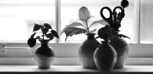 apt-echo-freak-show:  Coleus cuttings, Apt Echo, Birmingham, Alabama 2012.