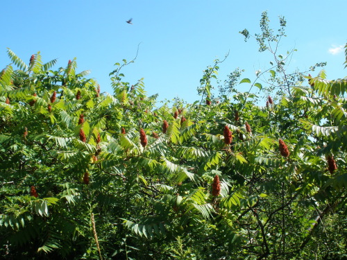 The island is rich in Staghorn Sumac.  I cultivated some berries to make tea with.