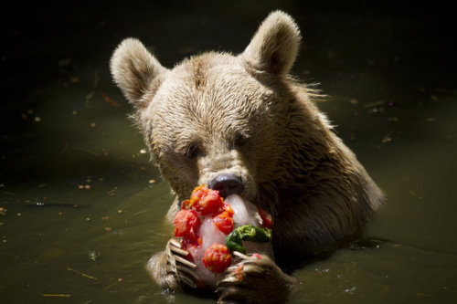 allcreatures:   A Syrian brown bear eats an ice block of frozen fruits, vegetables and fish to cool off from the heat at the Ramat Gan Safari near Tel Aviv, Israel, Thursday, July 12, 2012. Temperatures in Tel Aviv reached as high as 34 Celsius (93.2 Fahrenheit).  Ariel Schalit | AP (via Day in Pictures - The Sacramento Bee, Sacramento, California)  Get me the fuck out of here!