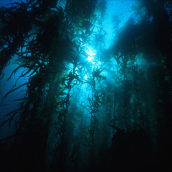 Kelp forests that stand beneath the water's surface support vast ecosystems that are teeming with life and energy.