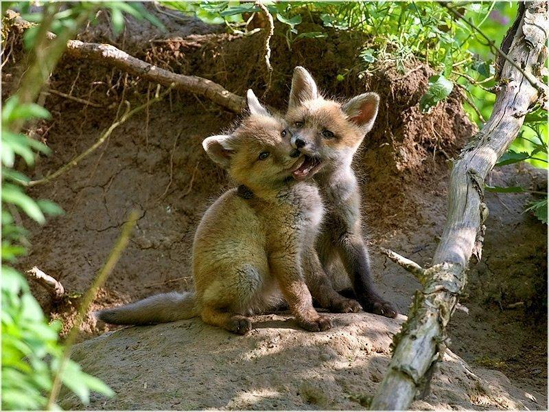llbwwb:  Kissing Foxes:) by Kay