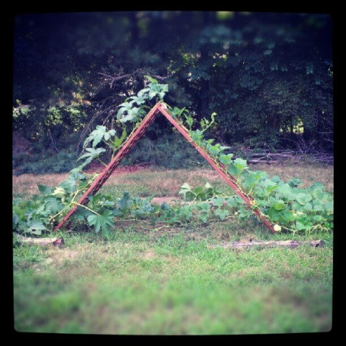 sssoapco:  Put in a trellis for my pumpkins! #garden #pumpkins #gardening (Taken with Instagram)