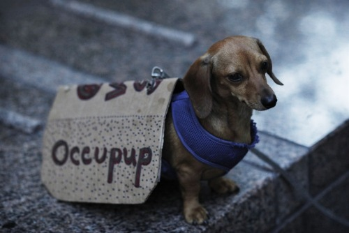 inothernews:  ZUCCOTTI BARK   A dog is seen carrying a banner during a protest by Occupy Wall Street activists at Zuccotti Park in New York on July 12.  At least three protesters were arrested after OWS members gathered in lower Manhattan on Wednesday.   (Photo: Eduardo Munoz / Reuters via MSNBC)