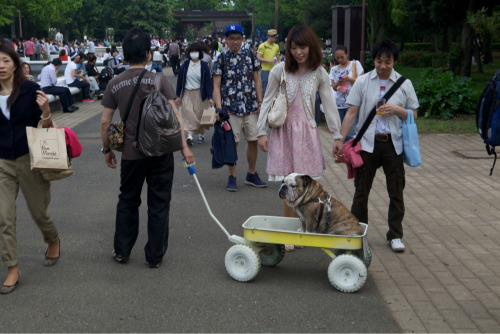 Talking about unhealthy dogs. This was in Yoyogi Park in Tokyo. Couldn't go on a walk, had to be pulled.   People thought it was *cute* but spare a thought for the dog.