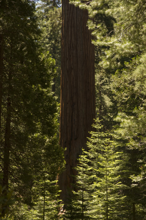 mouthofthemountain:  nother big tree