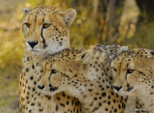 Cheetahs by Martin_Heigan on Flickr.
