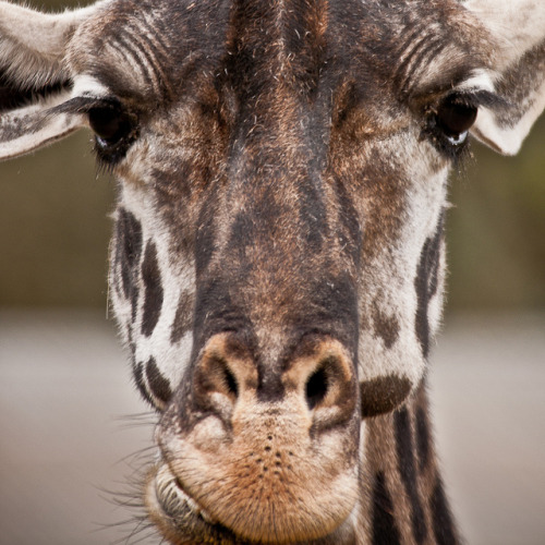 Masai Giraffe by DigitalFauxtographer on Flickr.