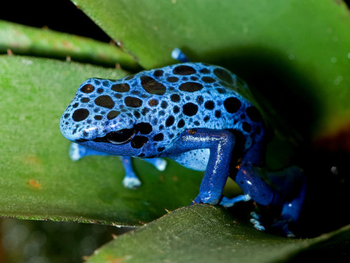 Blue Poison Frog by e_monk on Flickr.
