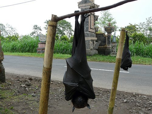 "have you heard of ""megabats"" ???  this is the giant golden-crowned flying fox, with a 4 - 5 ft wingspan. ""they eat primarily figs"" - like me.  http://en.wikipedia.org/wiki/Giant_golden-crowned_flying_fox"