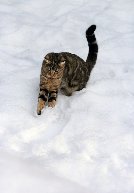 Snowballing kitten by horrigans on Flickr.