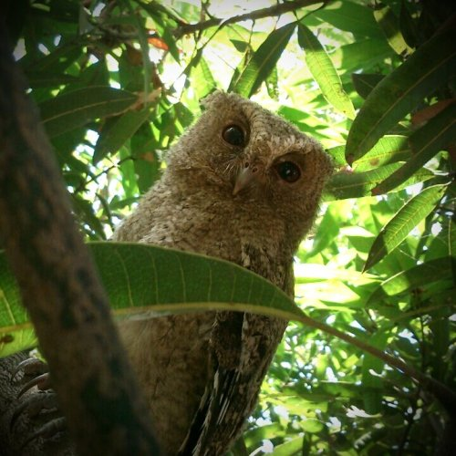 gsaroso:  It will be mine 😁#bird #owl(from @Gsaroso on Streamzoo)