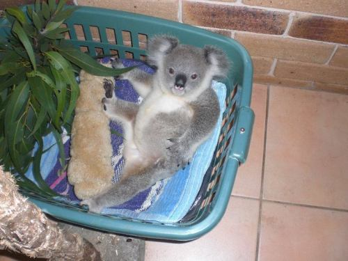 How cute is this little guy? He was raised by human fosters at a zoo in Australia. Found when he was about 1lb (his mother was killed by a car in 2009). Now he is all grown up & being released out into the wild. Good luck Crescent Head Jimmy!