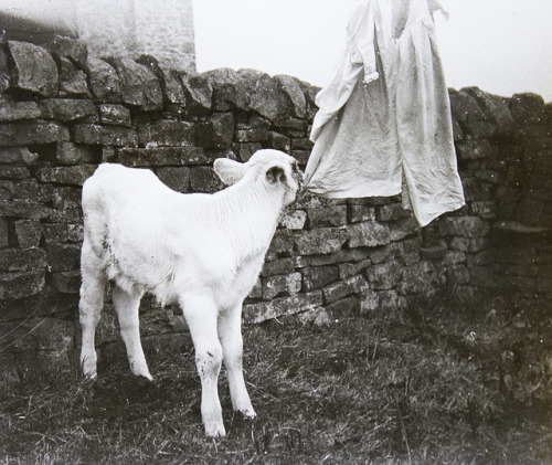 Sheep nibbles washing by Tyne & Wear Archives & Museums on Flickr.Look at the photo. Consider what has has just happened here, or what is about to happen here. Who has been here? Who will come here and and what will they do? What kinds of interactions can you imagine? Write one leaf about these or other things that occur to you upon looking at the picture. Do not allow yourself to be limited by what you see. Go.| Write One Leaf + about + ask + random + facebook + twitter | sponsors + You Are a Dog [ Kindle | Google | iBookstore ]