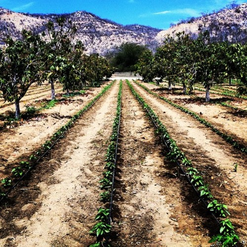 #mangos and #basil growing in the #desert  (Taken with Instagram)