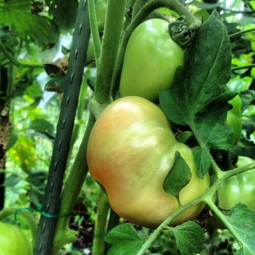 xinesegalas:  One of our #heirloomtomatoes is beginning to turn colors. It's such an exciting part of the process. #homegrownharvest #backyardgardening #gardening #vegetablegardening #tomatoes #delicious #food #growyourown #instahub #organic #instagood #instagram (Taken with Instagram)