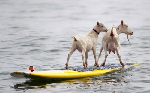 So I bought a boat, because my goat don't float. And my neighbor is happy again. theanimalblog:  Dana McGregor's pet goats Pismo and Goatee surf at San Onofre State Beach in California. McGregor started taking Pismo's mother Goatee to the beach, and it wasn't long before she was on a surfboard. When Pismo was born, McGregor put her on a board too, and she was a natural, he says.  Picture: The Orange County Register, Ron Veal/AP