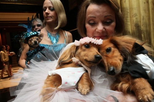 "Dogs from New York, Virginia wed at charity extravaganza Dachshunds dressed for the occasion, Dee Dee, foreground left, and her cousin Clifford, foreground right, are held by their owner Valerie Diker, as they and other dogs and people wait for the start of the most expensive wedding for pets Thursday July 12, 2012 in New York.  The black tie fundraiser, where two dogs were ""married"", was held to benefit the Humane Society of New York. Dee Dee and Clifford were part of the wedding party. Read the complete story."