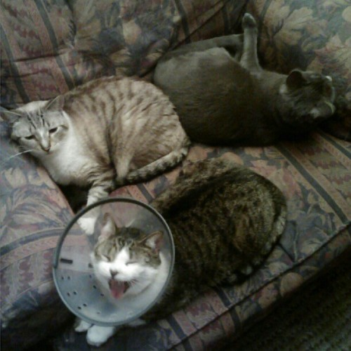 Three #cats, one chair! #Saki #cat is joined by #Elfine and #SirIan, proving that #friendship is always where it's at! Bonus points for Elf's ridiculously #cute #yawn! #catsofinstagram #instamood #instahub #instagramhub #webstagram #pet #cute #adorable #lol (Taken with Instagram)