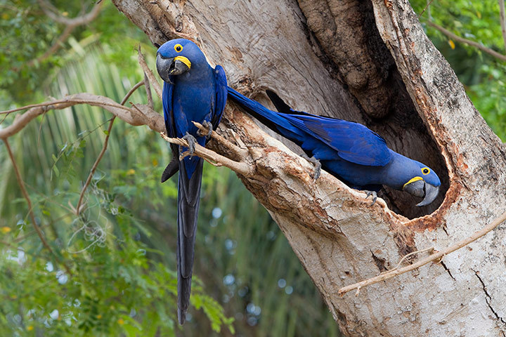 Two endangerd hyacinth macaws, Anodorhynchus hyacinthinus, in a tree, Brazil Photograph: Roy Toft/Getty Images